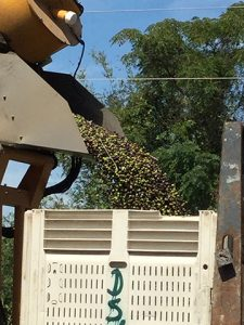 Fruit from the olive trees are dumped into the bin.